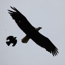 Eagle and crow