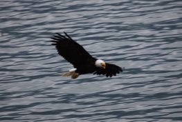 eagle over water