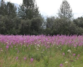 Field of fireweed at the edge of AWCC
