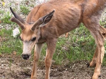 Baby deer along the roadway