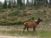 Elk along the Trans Canadian Highway