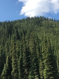 Miles and miles of lodge pole pines.