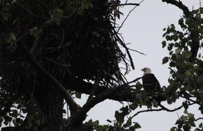 Mama eagle in the PM