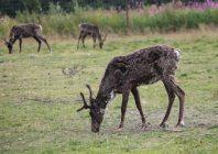 Molting deer