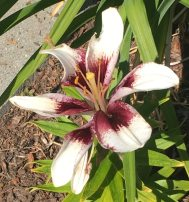 One Lilly