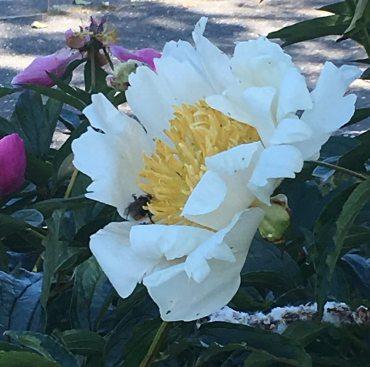 peony and bee