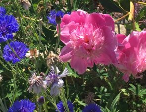 peony and blue