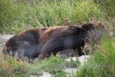 A sleeping bear