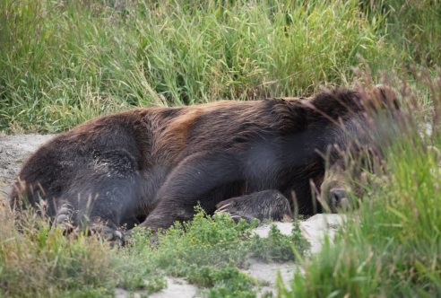 A sleeping bear