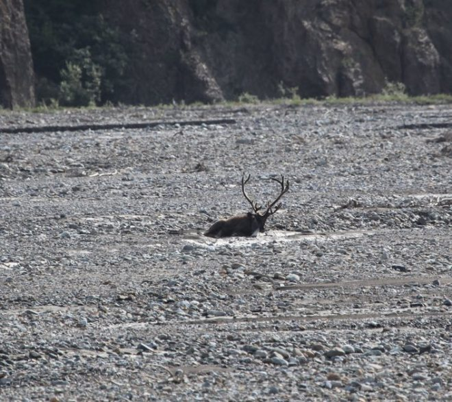 Caribou in lakebed
