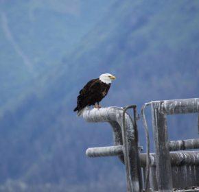 Eagle on mooring