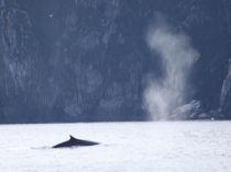 Fin whale and spout