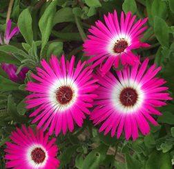 four purple white flowers