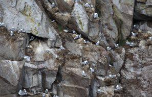 Sea Gull Rookery