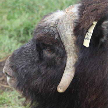 Trimmed horns