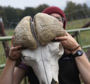 Muskox horns are separate
