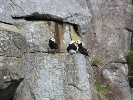 Puffins on ledge